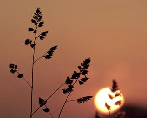 夕陽を浴びる雑草の写真素材 [FYI04858235]