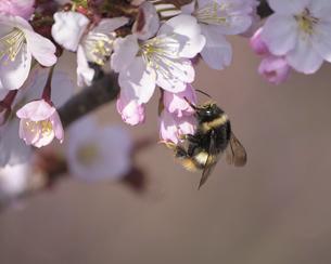 桜とマルハナバチの写真素材 [FYI04858247]