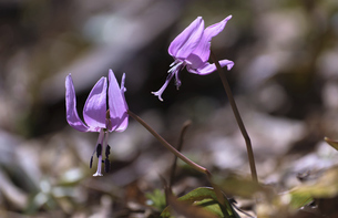 カタクリの花の写真素材 [FYI04858253]