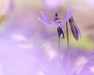 カタクリの花の写真素材 [FYI04858255]
