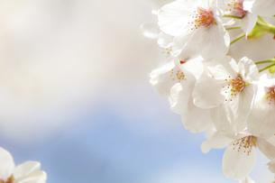 桜の花のクローズアップの写真素材 [FYI04858330]