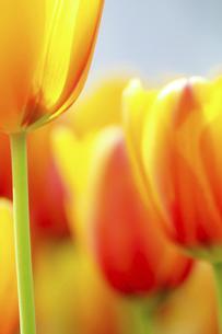 オレンジ色のチューリップの写真素材 [FYI04858332]