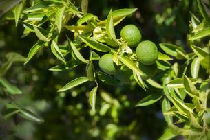 果実を付けているライムの木の写真素材 [FYI04858630]