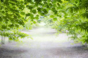 緑のもみじ葉の写真素材 [FYI04858653]