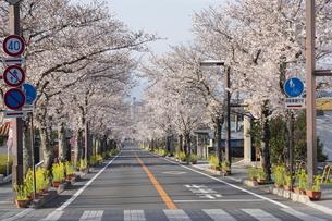 武田通りの桜並木の写真素材 [FYI04859349]