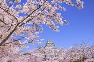 姫路城 天守閣と桜の写真素材 [FYI04859454]