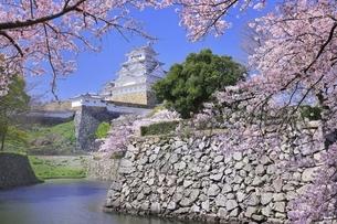 姫路城 天守閣と桜の写真素材 [FYI04859474]