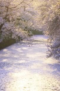 弘前公園 桜と花筏の写真素材 [FYI04859492]