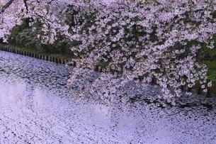 弘前公園 桜と花筏の写真素材 [FYI04859495]