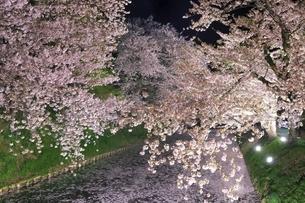 弘前公園 外濠の夜桜と花筏の写真素材 [FYI04859513]