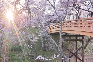 タカトオコヒガンザクラと桜雲橋と夕日の木もれ日の写真素材 [FYI04859534]