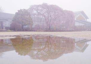 朝霧と水たまりに映える杵原学校の枝垂桜の写真素材 [FYI04859628]