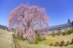 杵原学校の枝垂桜の写真素材 [FYI04859639]