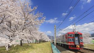 桜並木としなの鉄道の115系電車の写真素材 [FYI04859647]