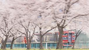 桜並木としなの鉄道の115系電車の写真素材 [FYI04859648]