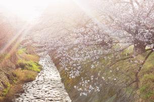 御堂川桜並木と朝の光の写真素材 [FYI04859657]