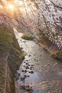 御堂川桜並木と夕日の木もれ日の写真素材 [FYI04859662]