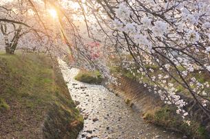 御堂川桜並木と夕日の木もれ日の写真素材 [FYI04859663]