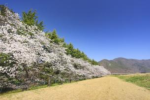 上五明堤防桜並木と葛尾城跡遠望の写真素材 [FYI04859665]