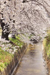常山隄桜並木の写真素材 [FYI04859668]