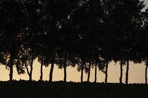 夕暮れのシラカバ並木のシルエットの写真素材 [FYI04859830]