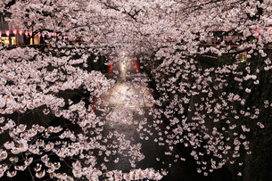 目黒川の桜 東京都の写真素材 [FYI04859865]