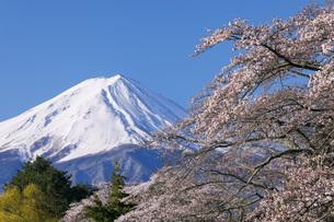 富士山と桜 川口湖畔から 山梨県の写真素材 [FYI04859866]