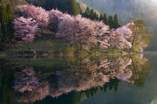 中綱湖のオオヤマザクラ 長野県の写真素材 [FYI04859867]