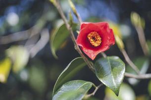 椿の赤い花の写真素材 [FYI04859879]