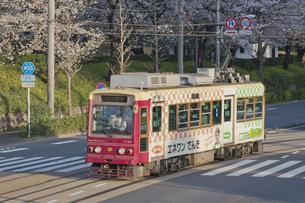 桜咲く飛鳥山公園と東京さくらトラム 都電荒川線 7708系の写真素材 [FYI04859991]