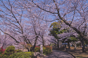 日本最初の公園 八代将軍徳川吉宗が享保の改革のひとつで江戸っ子の行楽地として飛鳥山を桜の名所  飛鳥山公園 青空に桜と道の写真素材 [FYI04859996]