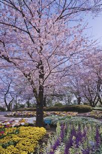 日本最初の公園 八代将軍徳川吉宗が享保の改革のひとつで江戸っ子の行楽地として飛鳥山を桜の名所  飛鳥山公園 桜と春の花の写真素材 [FYI04859997]