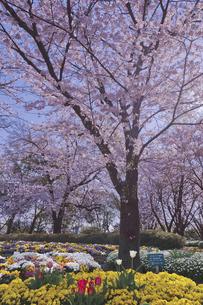 日本最初の公園 八代将軍徳川吉宗が享保の改革のひとつで江戸っ子の行楽地として飛鳥山を桜の名所  飛鳥山公園 桜とチューリップと春の花の写真素材 [FYI04859998]