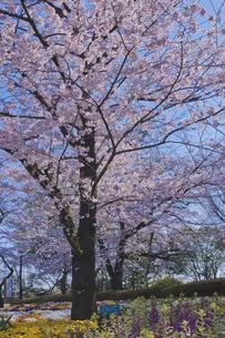桜と春の花 日本最初の公園 八代将軍徳川吉宗が享保の改革のひとつで江戸っ子の行楽地として飛鳥山を桜の名所 飛鳥山公園の写真素材 [FYI04860002]