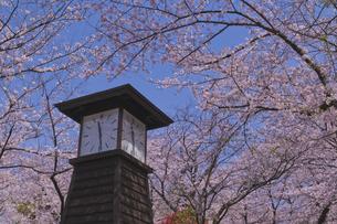 日本最初の公園 八代将軍徳川吉宗が享保の改革のひとつで江戸っ子の行楽地として飛鳥山を桜の名所  飛鳥山公園 青空に時計台と桜の写真素材 [FYI04860016]