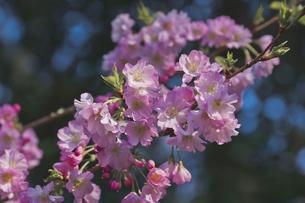 御朱印が人気で火付け役の櫻木神社 濃いピンクのアーコレイド桜の写真素材 [FYI04860020]