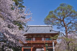 慈光山金乗院 300年前に建立の仁王門と桜と遍路姿の弘法大師像の写真素材 [FYI04860029]