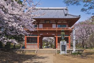 慈光山金乗院 300年前に建立の仁王門と桜と遍路姿の弘法大師像の写真素材 [FYI04860030]