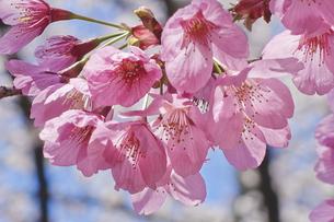 日本さくら名所100選 清水公園 ヨコハマヒザクラの写真素材 [FYI04860065]