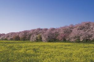 青空に桜並木とナノハナ 幸手権現堂桜堤の写真素材 [FYI04860070]