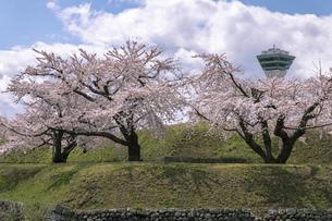 北海道 函館市五稜郭公園の桜の写真素材 [FYI04860123]