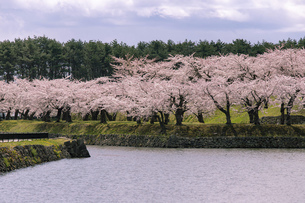 北海道 函館市五稜郭公園の桜の写真素材 [FYI04860125]