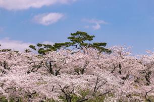 北海道 函館市五稜郭公園の桜の写真素材 [FYI04860126]