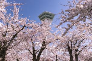 北海道 函館市五稜郭公園の桜の写真素材 [FYI04860129]