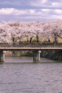 北海道 北海道函館市五稜郭公園の桜の写真素材 [FYI04860134]