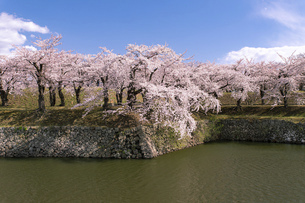 北海道 函館市五稜郭公園の桜の写真素材 [FYI04860136]