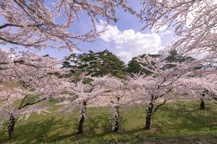 北海道 函館市五稜郭公園の桜の写真素材 [FYI04860137]