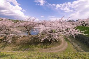 北海道 函館市五稜郭公園の桜の写真素材 [FYI04860138]