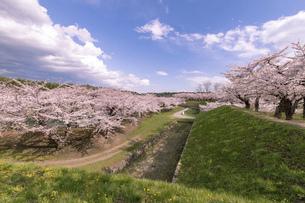 北海道 函館市五稜郭公園の桜の写真素材 [FYI04860139]