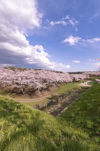 北海道 函館市五稜郭公園の桜の写真素材 [FYI04860140]